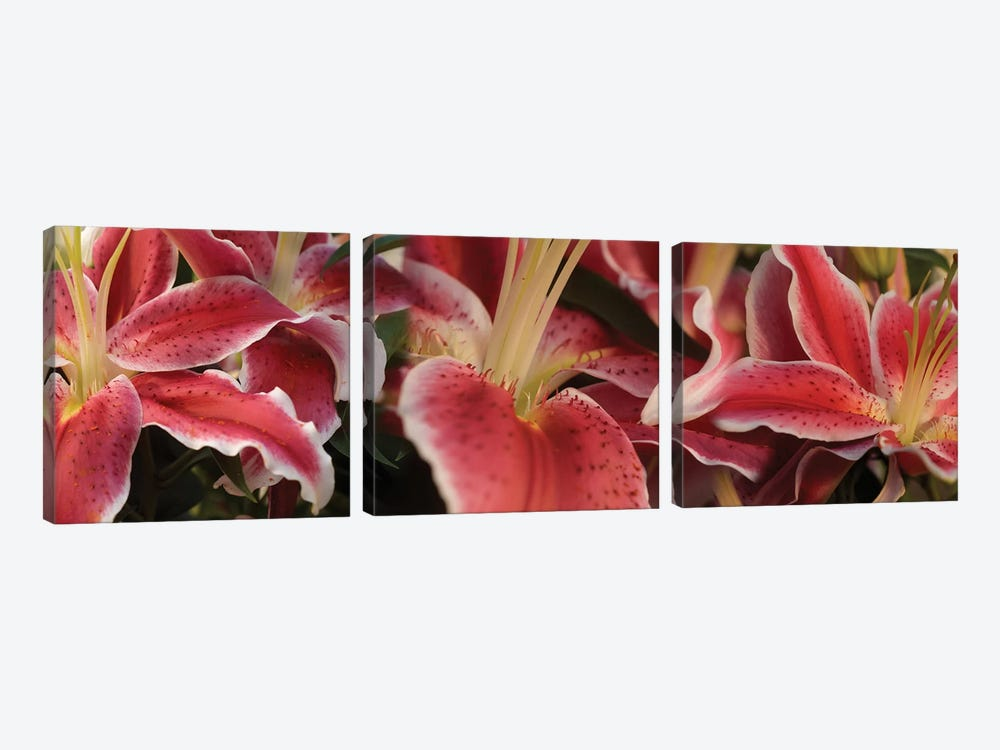 Close-Up Of Stargazer Lily Flowers by Panoramic Images 3-piece Canvas Print
