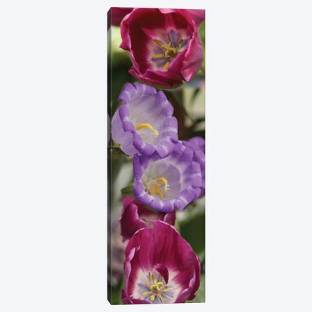 Close-Up Of Tulip Flowers Canvas Print #PIM14540} by Panoramic Images Canvas Artwork