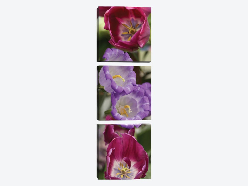 Close-Up Of Tulip Flowers by Panoramic Images 3-piece Canvas Art