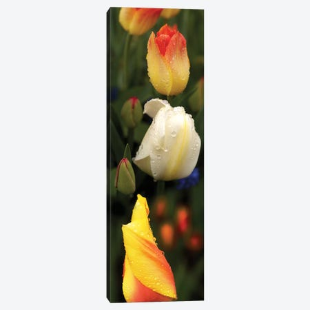 Close-Up Of Tulip Flowers Glowing Canvas Print #PIM14541} by Panoramic Images Canvas Art