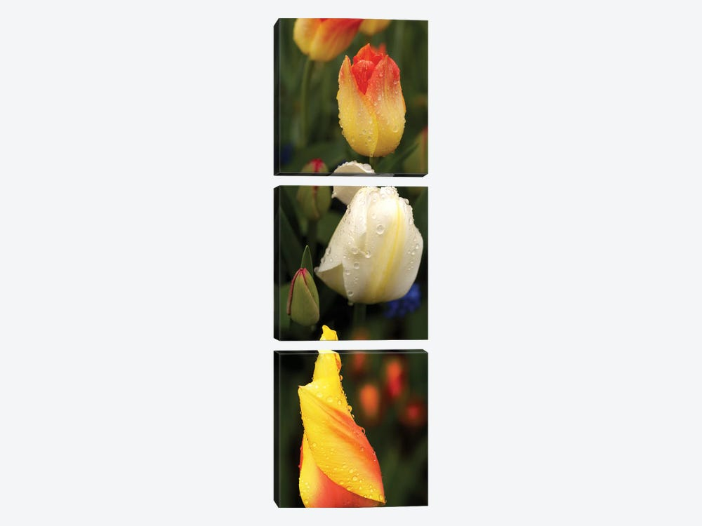 Close-Up Of Tulip Flowers Glowing by Panoramic Images 3-piece Canvas Print