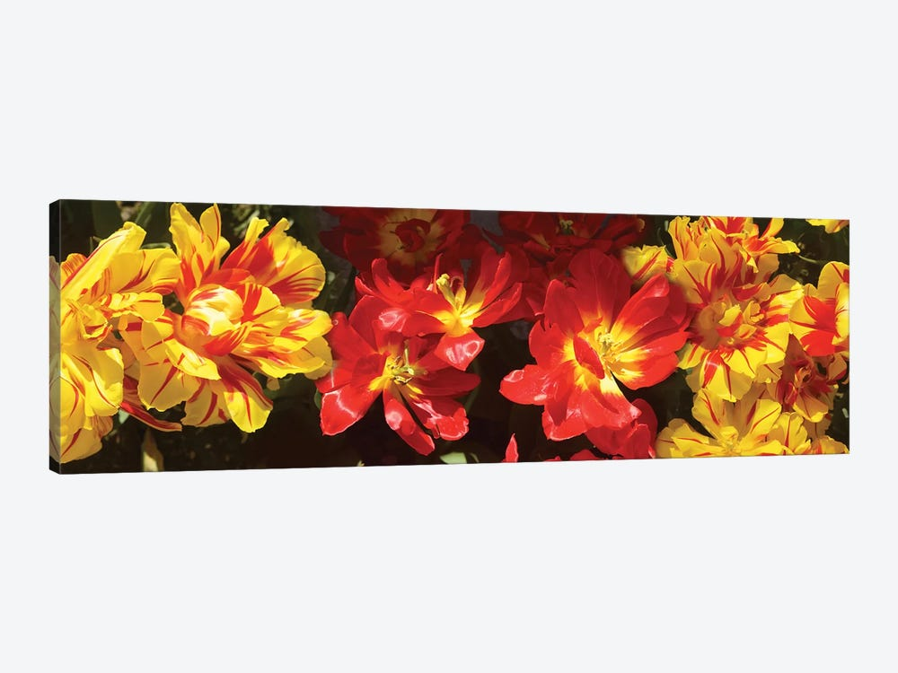 Close-Up Of Vibrant Color Tulip Flowers by Panoramic Images 1-piece Canvas Wall Art