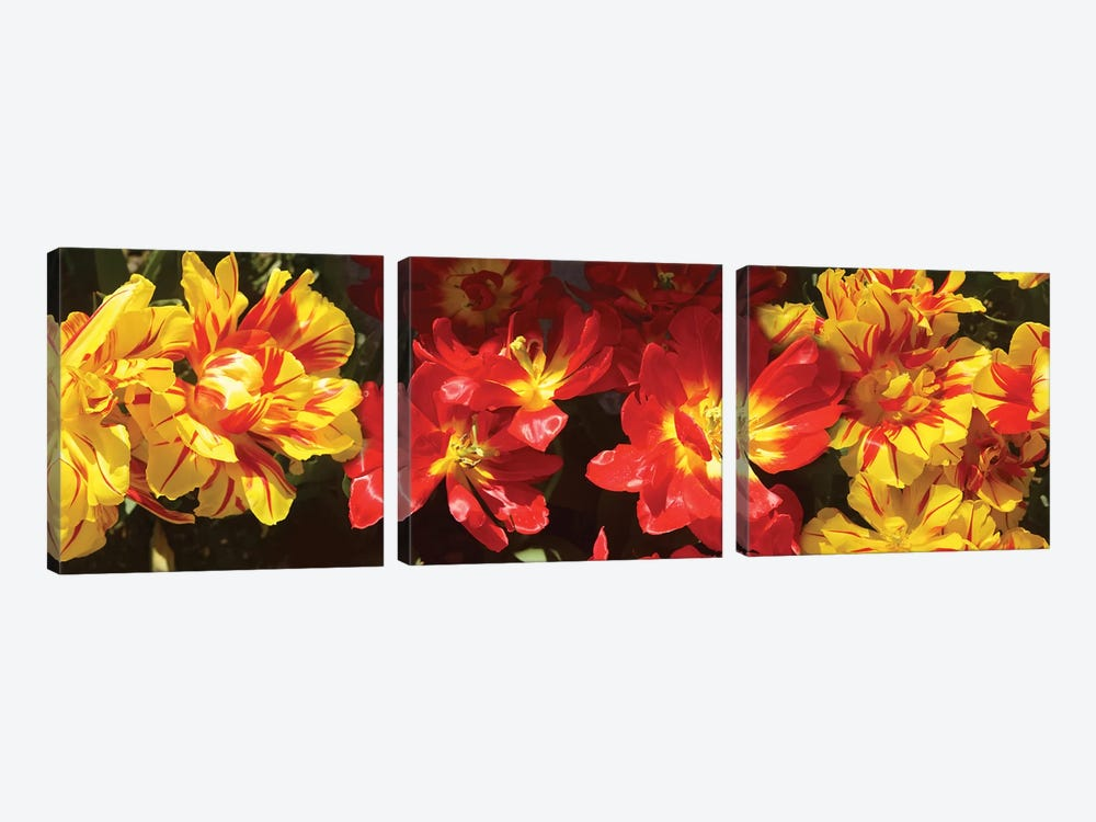 Close-Up Of Vibrant Color Tulip Flowers by Panoramic Images 3-piece Canvas Artwork