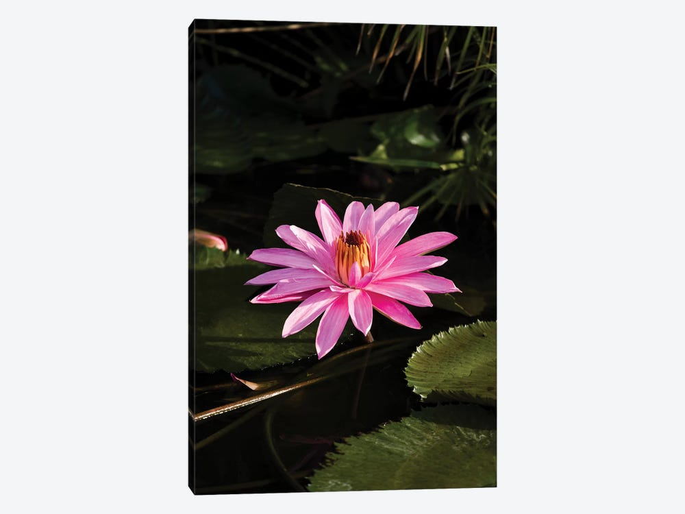Close-Up Of Water Lily Flower, Moorea, Tahiti, French Polynesia I by Panoramic Images 1-piece Canvas Print