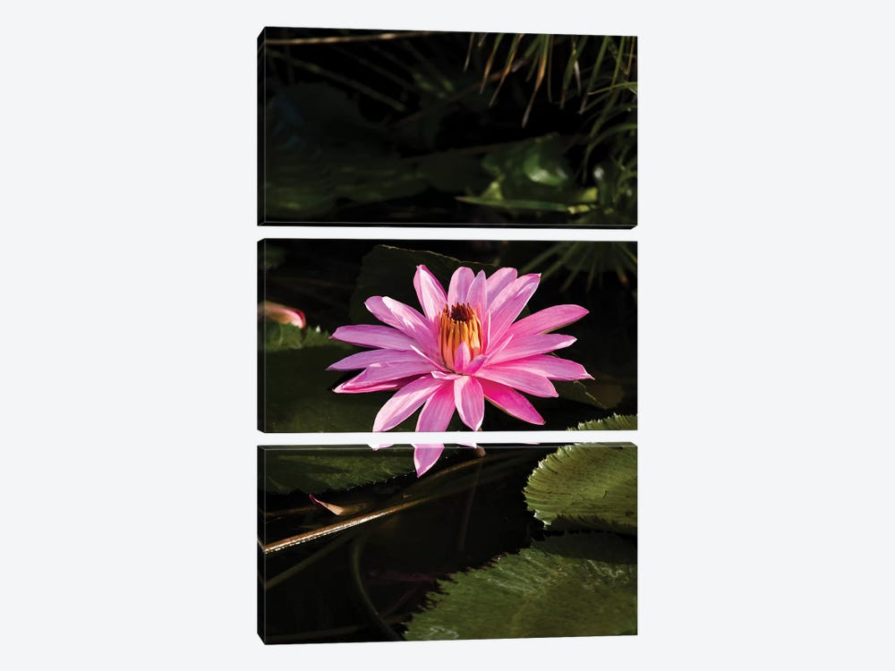 Close-Up Of Water Lily Flower, Moorea, Tahiti, French Polynesia I by Panoramic Images 3-piece Canvas Print