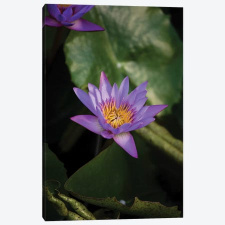 Close-Up Of Water Lily Flower, Moorea, Tahiti, French Polynesia II Canvas Print #PIM14544} by Panoramic Images Art Print