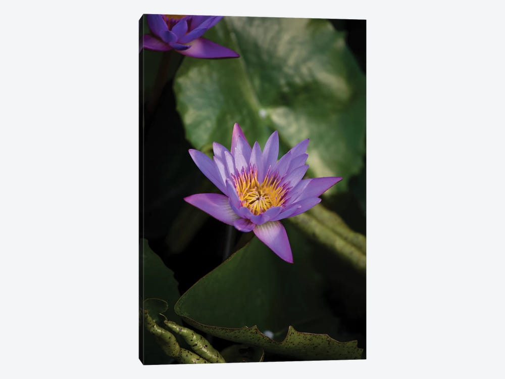 Close-Up Of Water Lily Flower, Moorea, Tahiti, French Polynesia II by Panoramic Images 1-piece Canvas Art