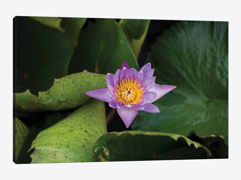 Close-Up Of Water Lily Flower, Moorea, Tahiti, French Polynesia III by Panoramic Images 1-piece Art Print