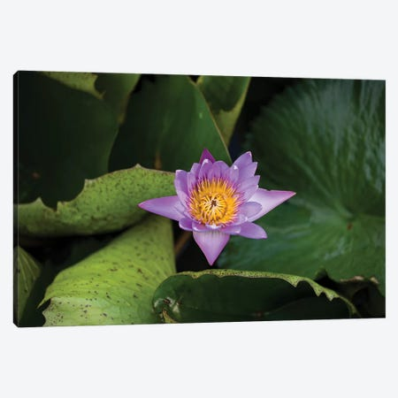 Close-Up Of Water Lily Flower, Moorea, Tahiti, French Polynesia III Canvas Print #PIM14545} by Panoramic Images Art Print