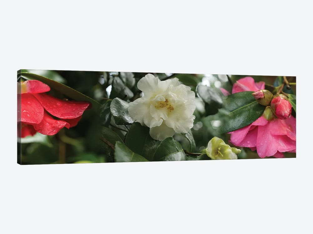 Close-Up Of Wet Spring Rhododendron Flowers by Panoramic Images 1-piece Canvas Art