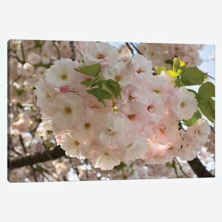 Close-Up Of White Cherry Blossom Flowers, Imperial Garden, Tokyo, Japan Canvas Print #PIM14547} by Panoramic Images Canvas Print