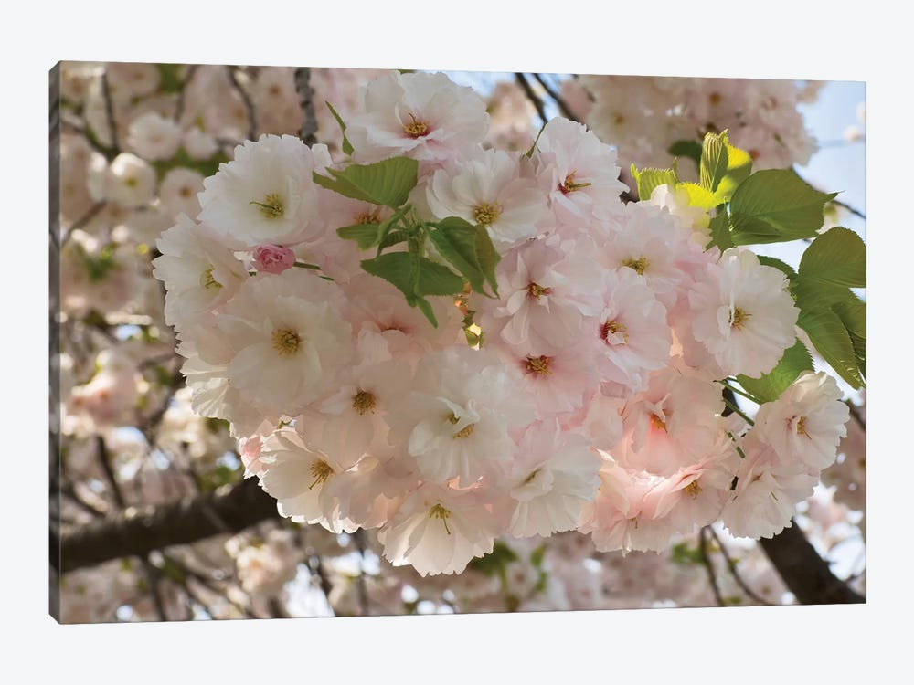 Close-Up Of White Cherry Blossom Flowers, Imperial Garden, Tokyo, Japan 1-piece Canvas Art Print