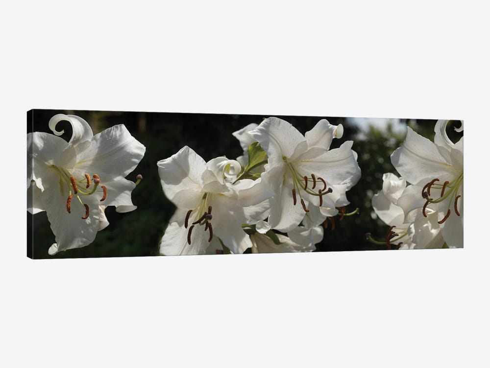 Close-Up Of White Lilies Flowers by Panoramic Images 1-piece Canvas Wall Art