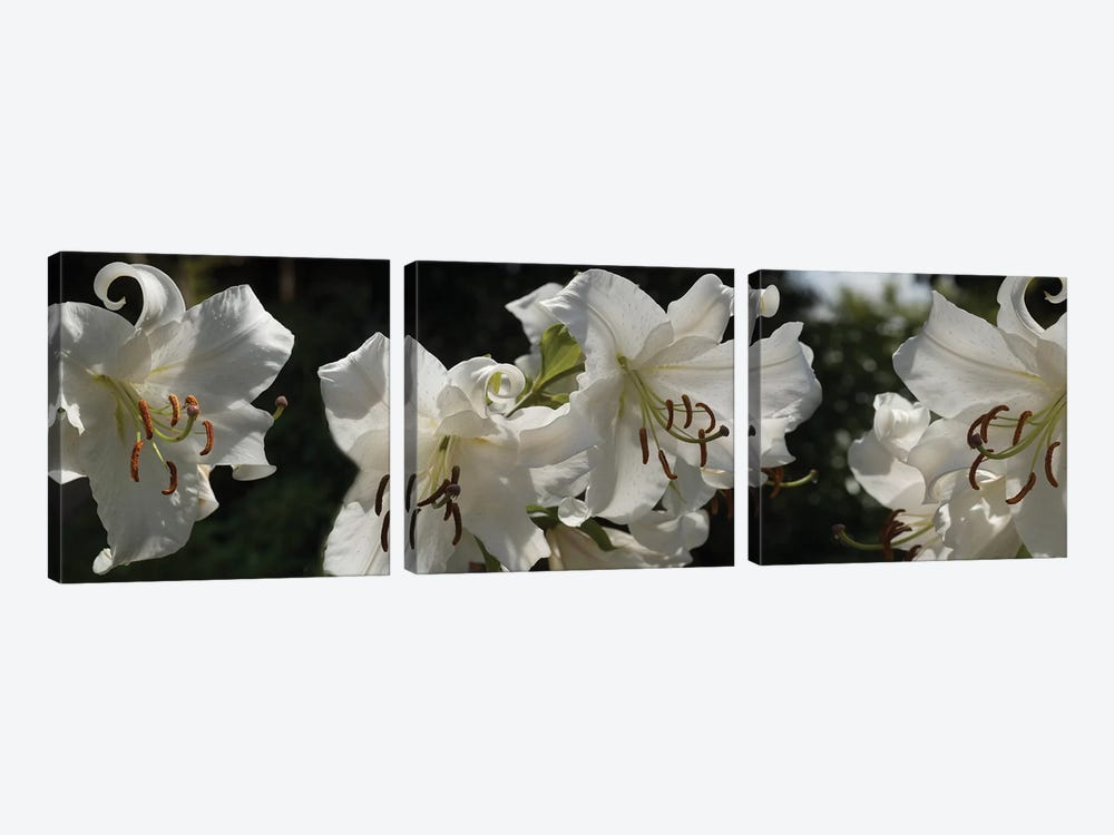 Close-Up Of White Lilies Flowers by Panoramic Images 3-piece Canvas Artwork