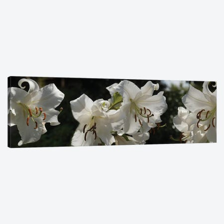 Close-Up Of White Lilies Flowers Canvas Print #PIM14548} by Panoramic Images Canvas Art