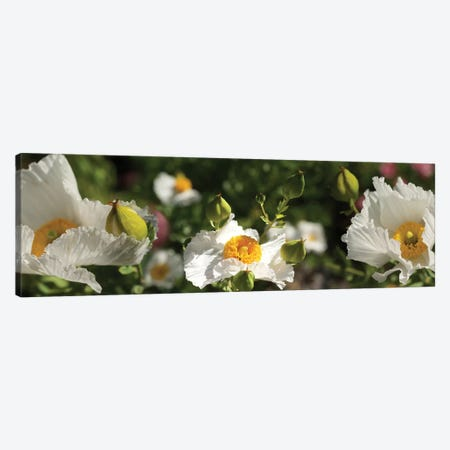 Close-Up Of White Poppy Flowers Canvas Print #PIM14550} by Panoramic Images Canvas Print