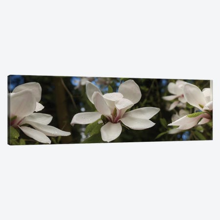 Close-Up Of White Rhododendron Flowers Canvas Print #PIM14551} by Panoramic Images Canvas Print