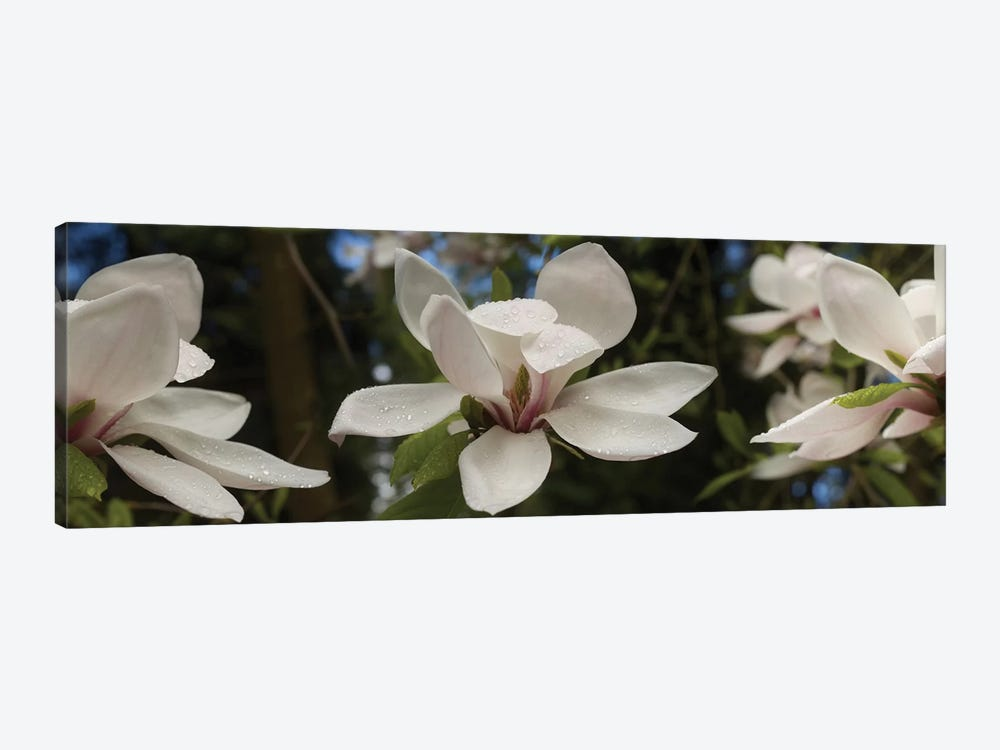 Close-Up Of White Rhododendron Flowers by Panoramic Images 1-piece Canvas Artwork