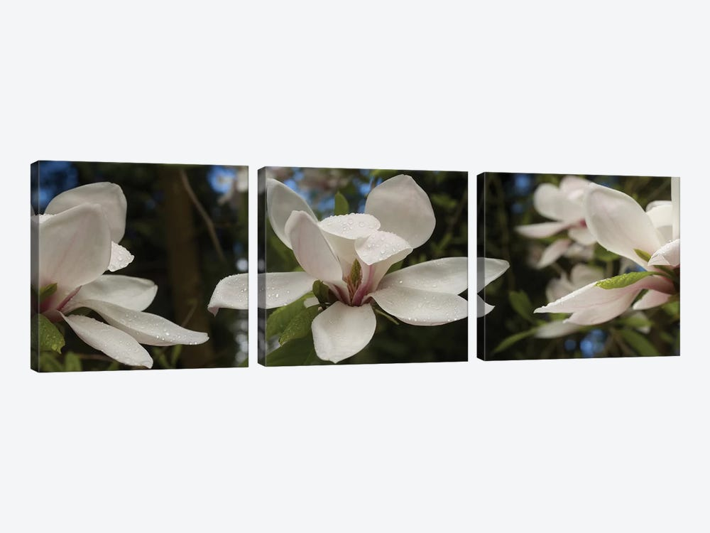 Close-Up Of White Rhododendron Flowers by Panoramic Images 3-piece Canvas Wall Art