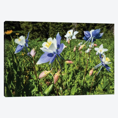 Close-Up Of Wildflowers, Crested Butte, Colorado, USA Canvas Print #PIM14553} by Panoramic Images Canvas Print
