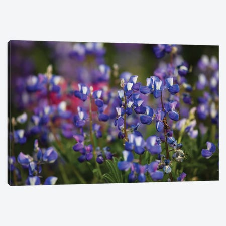 Close-Up Of Wildflowers, Mount Rainier National Park, Washington State, USA IV Canvas Print #PIM14557} by Panoramic Images Canvas Artwork
