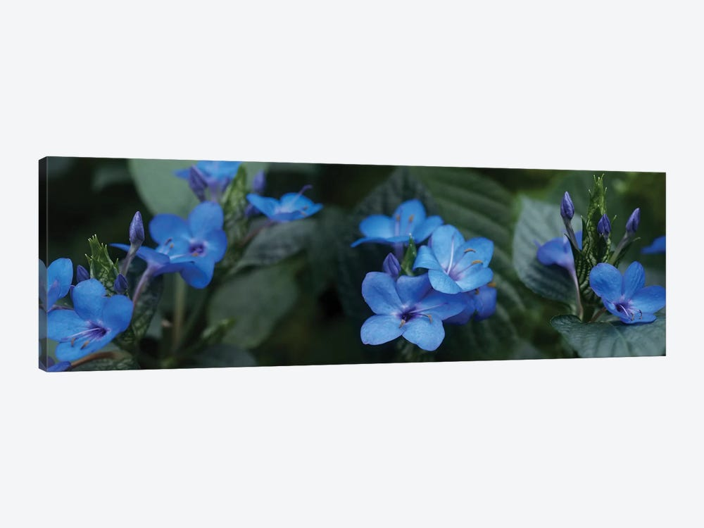 Close-Up Of Winter Blue Flowers by Panoramic Images 1-piece Canvas Art Print