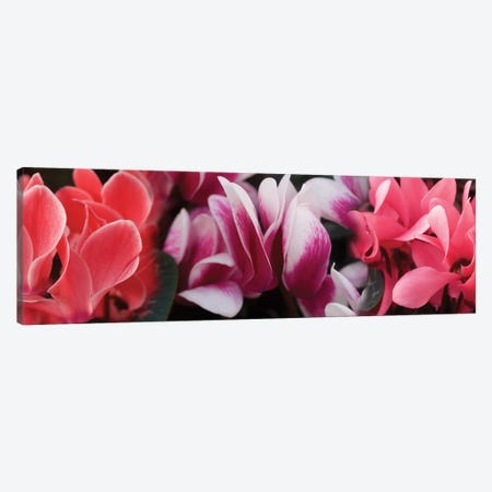 Close-Up Of Winter Cyclamen Flowers Canvas Print #PIM14562} by Panoramic Images Canvas Wall Art