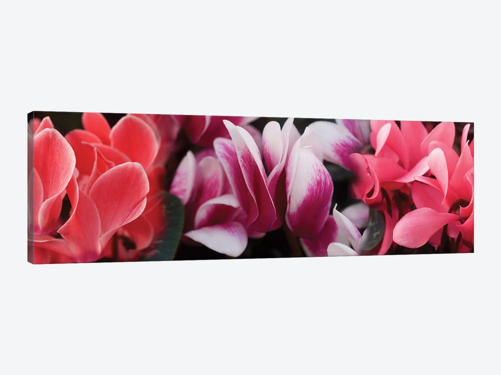 Close-Up Of Winter Cyclamen Flowers by Panoramic Images 1-piece Canvas Artwork