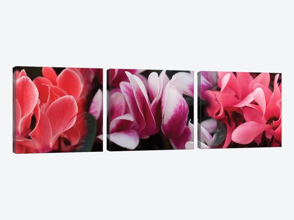 Close-Up Of Winter Cyclamen Flowers by Panoramic Images 3-piece Canvas Art