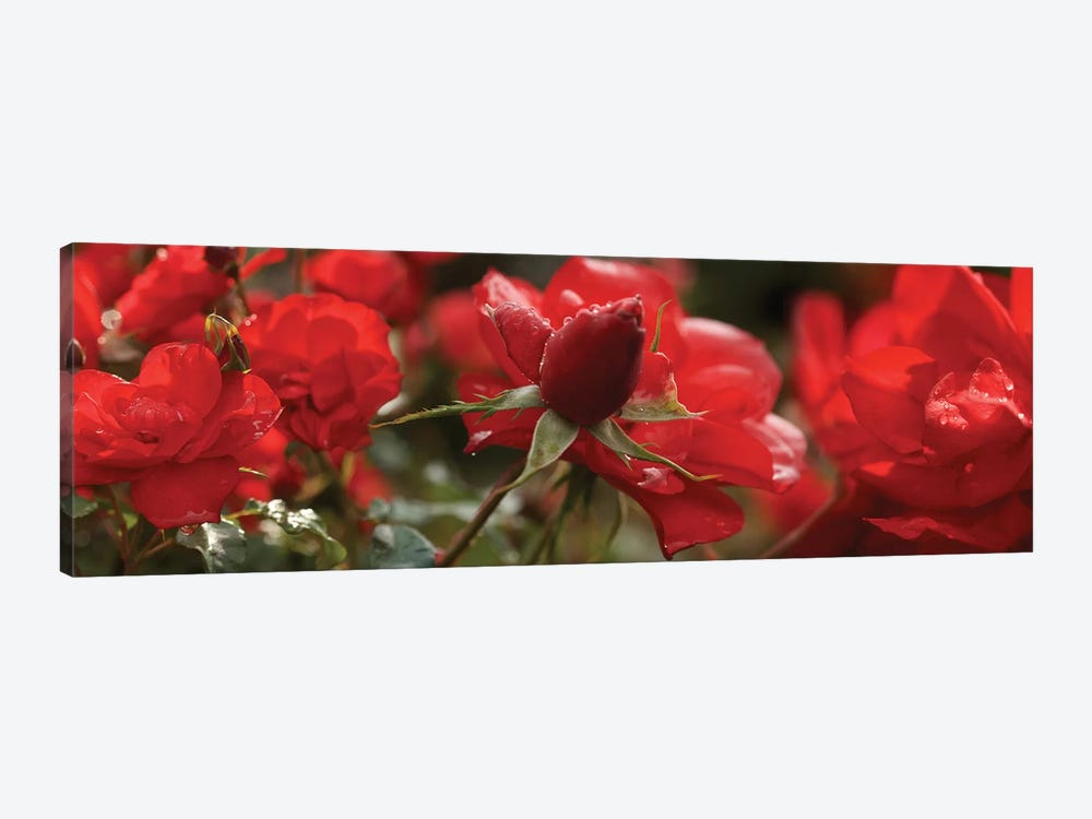 Close-Up Of Worshipped Hedge Rose Flowers by Panoramic Images 1-piece Canvas Art Print