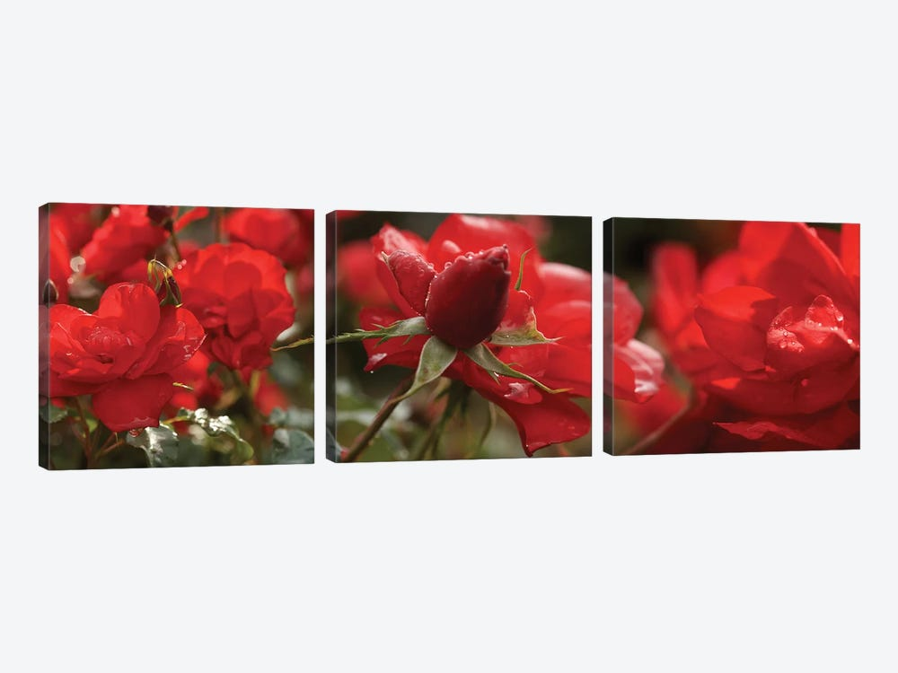 Close-Up Of Worshipped Hedge Rose Flowers by Panoramic Images 3-piece Canvas Art Print