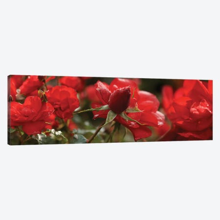 Close-Up Of Worshipped Hedge Rose Flowers Canvas Print #PIM14563} by Panoramic Images Canvas Artwork