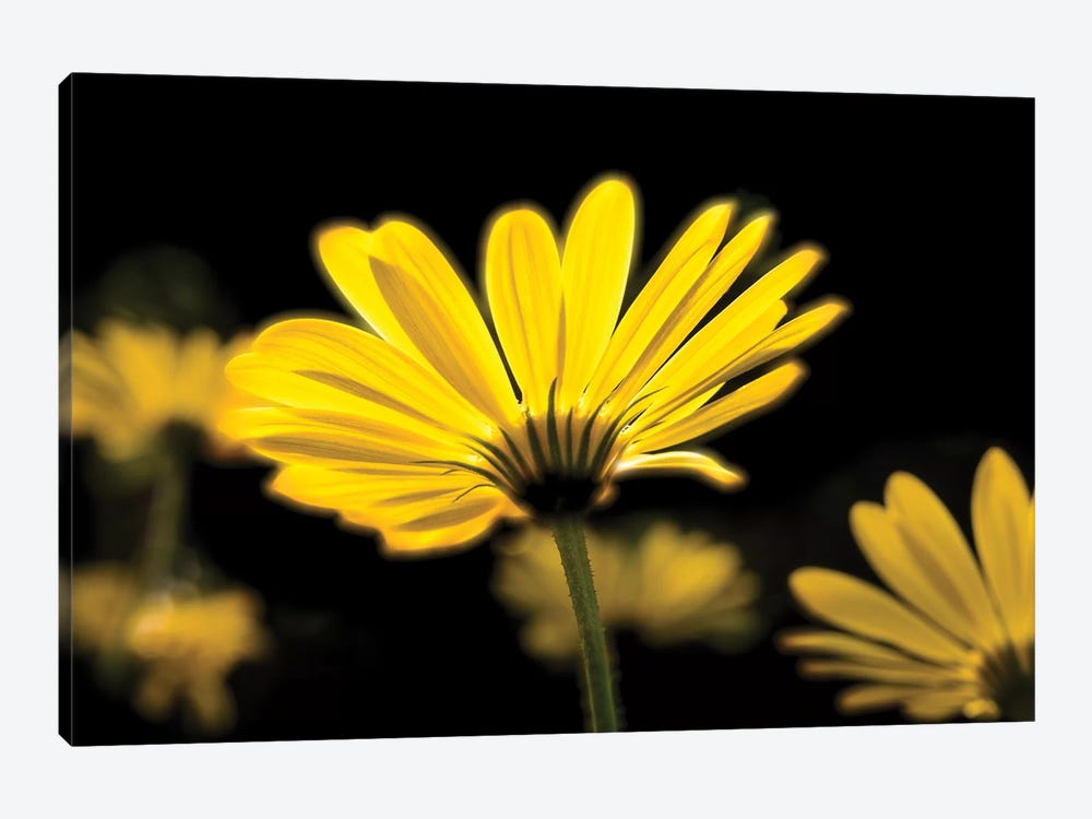 Close-Up Of Yellow African Daisy Flowers (Voltage Yellow Osteospermum), Florida, USA by Panoramic Images 1-piece Canvas Wall Art