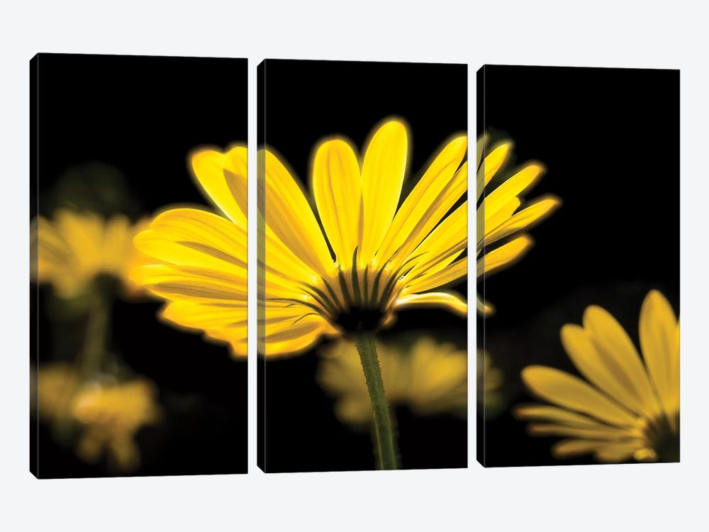 Close-Up Of Yellow African Daisy Flowers (Voltage Yellow Osteospermum), Florida, USA by Panoramic Images 3-piece Canvas Artwork