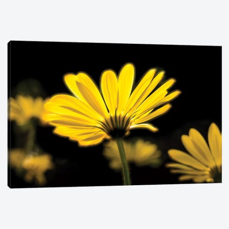 Close-Up Of Yellow African Daisy Flowers (Voltage Yellow Osteospermum), Florida, USA 3-Piece Canvas #PIM14564} by Panoramic Images Art Print