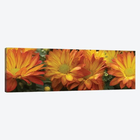 Close-Up Of Yellow Gerbera Daisy Flowers Canvas Print #PIM14565} by Panoramic Images Canvas Art Print