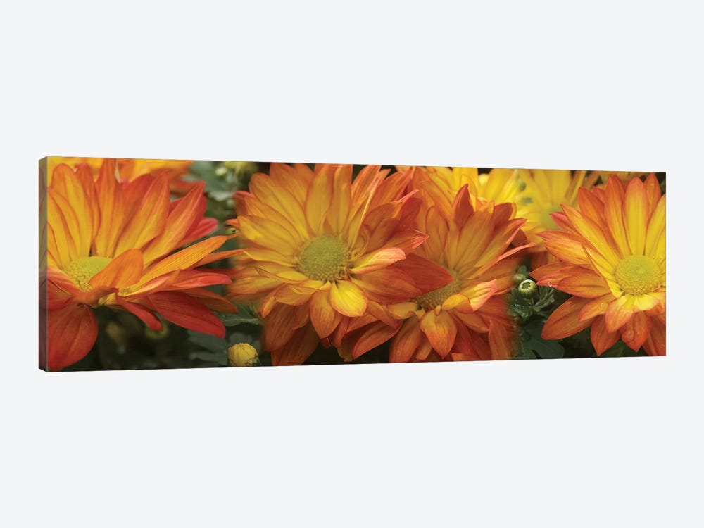 Close-Up Of Yellow Gerbera Daisy Flowers by Panoramic Images 1-piece Canvas Print