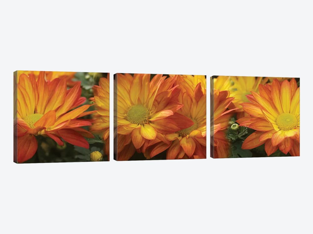 Close-Up Of Yellow Gerbera Daisy Flowers by Panoramic Images 3-piece Canvas Print