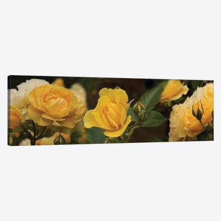 Close-Up Of Yellow Rose Flowers Canvas Print #PIM14566} by Panoramic Images Art Print