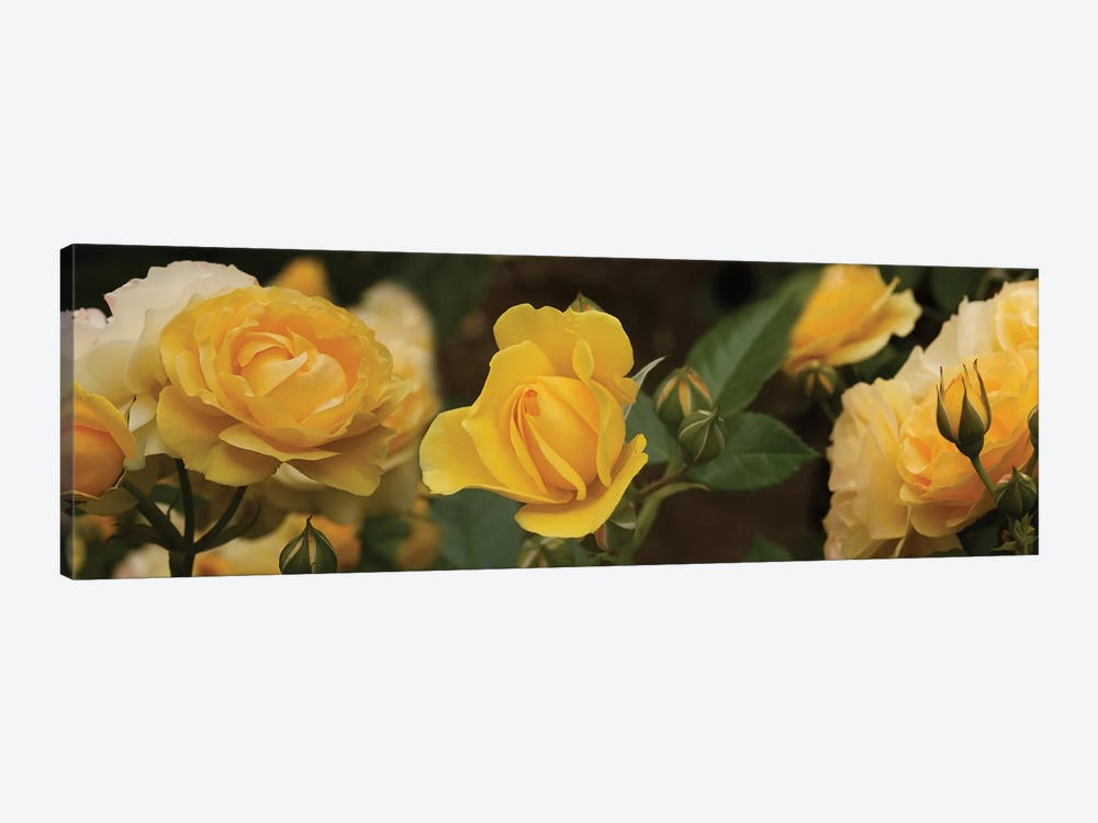 Close-Up Of Yellow Rose Flowers by Panoramic Images 1-piece Canvas Art