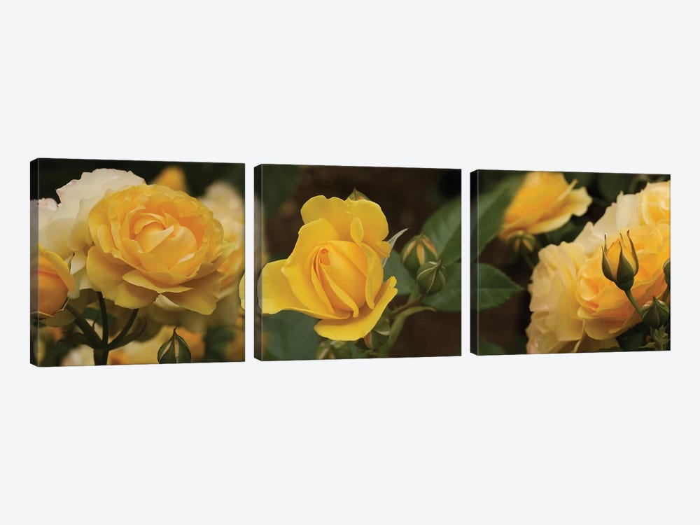 Close-Up Of Yellow Rose Flowers 3-piece Canvas Artwork