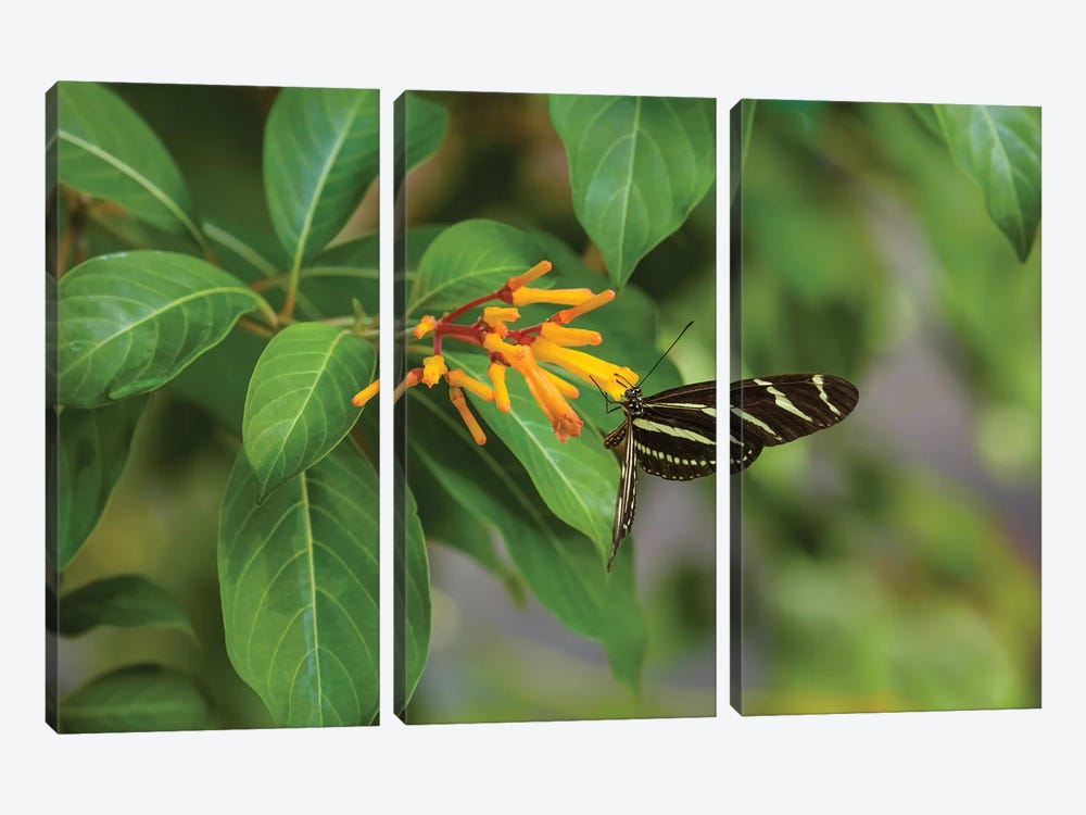 Close-Up Of Zebra Longwing (Heliconius Charithonia) Butterfly Pollinating Flowers, Florida, USA by Panoramic Images 3-piece Art Print