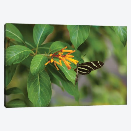 Close-Up Of Zebra Longwing (Heliconius Charithonia) Butterfly Pollinating Flowers, Florida, USA Canvas Print #PIM14567} by Panoramic Images Canvas Print