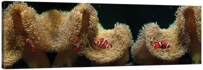 Clownfish Swimming Near Coral Canvas Art Print