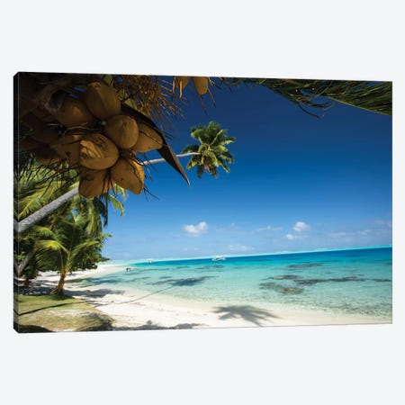 Coconuts Hanging On A Tree, Bora Bora, Society Islands, French Polynesia I Canvas Print #PIM14587} by Panoramic Images Art Print