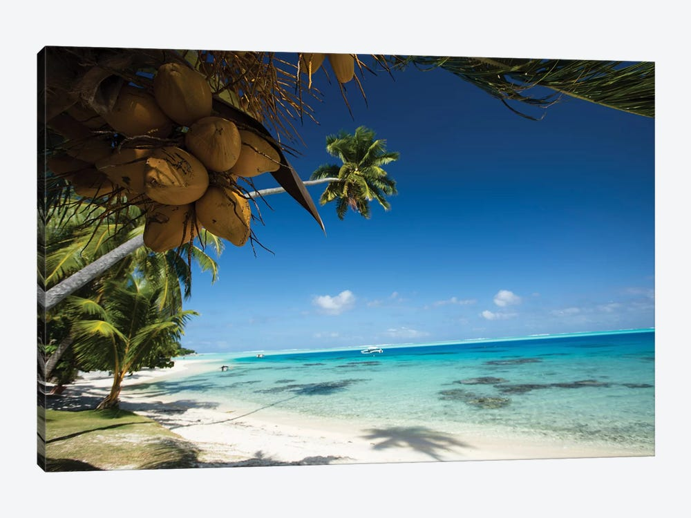 Coconuts Hanging On A Tree, Bora Bora, Society Islands, French Polynesia I by Panoramic Images 1-piece Art Print