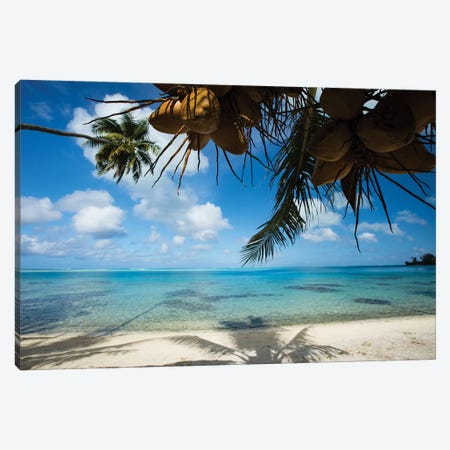 Coconuts Hanging On A Tree, Bora Bora, Society Islands, French Polynesia II Canvas Print #PIM14588} by Panoramic Images Canvas Art