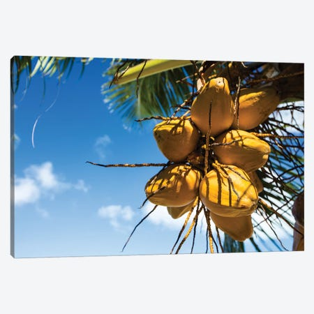 Coconuts Hanging On A Tree, Bora Bora, Society Islands, French Polynesia III Canvas Print #PIM14589} by Panoramic Images Canvas Artwork