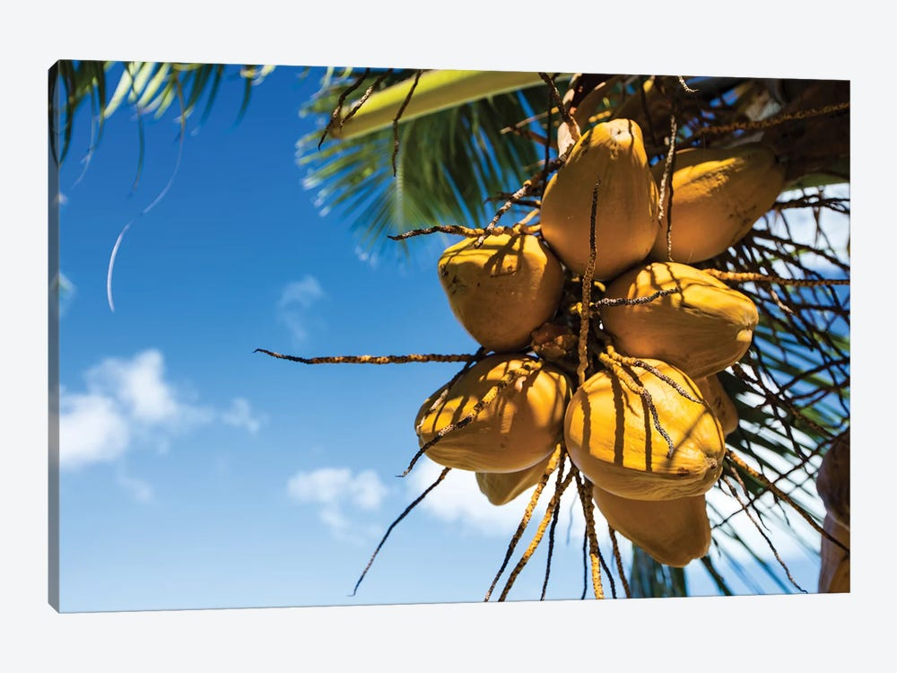 Coconuts Hanging On A Tree, Bora Bora, Society Islands, French Polynesia III by Panoramic Images 1-piece Canvas Art Print