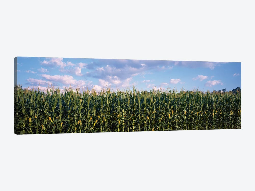 Corn Field, Baltimore County, Maryland, USA by Panoramic Images 1-piece Canvas Wall Art
